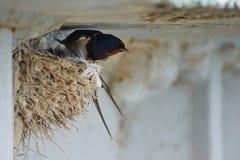 Nest von Schwalben Lizenzfreies Stockbild