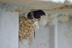 Nest von Schwalben Lizenzfreie Stockfotografie