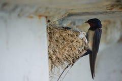 Nest von Schwalben Lizenzfreie Stockbilder