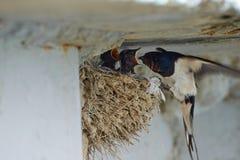 Nest von Schwalben Lizenzfreies Stockfoto