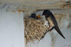Nest von Schwalben Stockfotografie