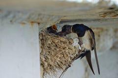 Nest von Schwalben Stockbilder