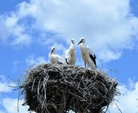 Nest von Störchen lizenzfreie stockbilder