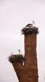 Nest von Störchen Stockfotografie