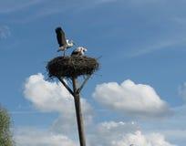 Nest von Störchen auf einer gekrümmten Spalte Stockfotografie