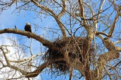 Nest von Weißkopfseeadlern mit einem Adler auf nahe gelegener Niederlassung Lizenzfreie Stockfotografie