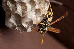 nest waspen Arkivfoton