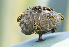 Nest of wasps. A nest of european wasps (Polystes stock photo