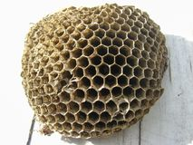 The nest of wasps Royalty Free Stock Images