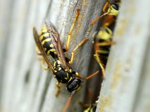 Nest of wasps Royalty Free Stock Image