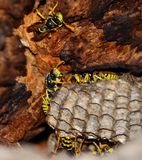 Nest of wasps inside dry tree Stock Photography