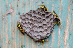 Nest of wasps in the old electrical switchboard. Wasp stock photo