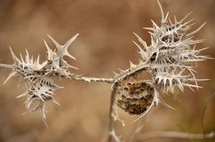 Nest of wasps on thistle. Nest of wasps hanging from the dry wild thistle Royalty Free Stock Photography