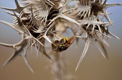 Nest of wasps among thorns. Thorns of wild thistle and nest of wasps inside Royalty Free Stock Photography