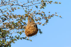 Nest weaver bird on branch Royalty Free Stock Images