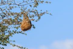 Nest weaver bird hanging on branch Stock Photo