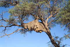 Nest of weaver birds in a tree, Namibia Royalty Free Stock Photos
