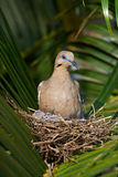 Nest of white wing dove Stock Images