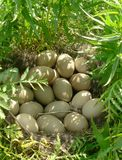 Nest of wild duck Royalty Free Stock Image