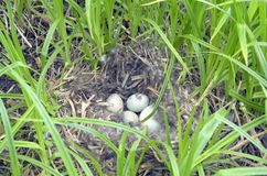 Nest of wild duck with eggs stock images