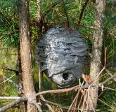 Nest of wild wasps in wood royalty free stock photo