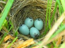 Nest of Yellow-headed Blackbird Stock Image