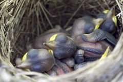 A nest with young naked Chicks Stock Photography
