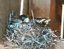 Nest of young Robins stock images