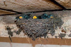 Nest with young  swallows Stock Photography