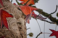 Free Neste Of Asian Giant Hornet On The Tree Stock Photography - 168406702