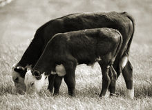 Nested Cows Royalty Free Stock Photo