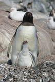 Nestelend pinguïn en kuiken Stock Afbeelding