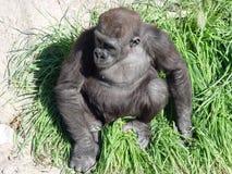 Nestelende Gorilla Stock Foto's