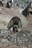 Nestelende pinguïn Stock Foto's
