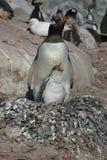 Nestelende pinguïn Stock Foto