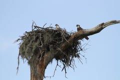 Nestelende visarendvogels Royalty-vrije Stock Foto
