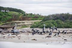 Nestelende Vogels: Westelijk Australië Stock Fotografie