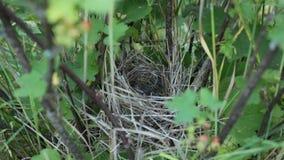 Nestelende vogelskuikens in het nest stock videobeelden