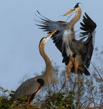 Nesters. The Great Blue Heron in the Florida Everglades Royalty Free Stock Photo
