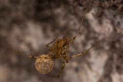 Nesticus cellulanus spider with egg sac Royalty Free Stock Images