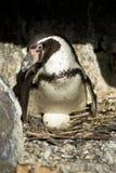 Nestin penguin Royalty Free Stock Photography
