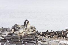 Nesting adelie penguins, stone hut, pallet island, antarctica Stock Image