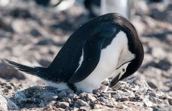 Nesting adult Chinstrap Penguin with chick, Antarctic Peninsula royalty free stock photo