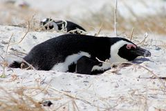 Nesting African Penguin. Jackass penguin sitting on a nest in Boulders Beach, South Africa Royalty Free Stock Photography