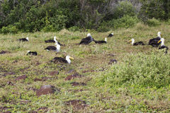Nesting albatross colony Royalty Free Stock Photo