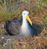 Nesting Albatross Stock Photos