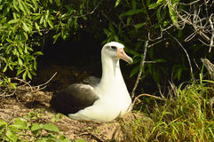 Nesting Albatross - Oahu Hawaii. Birdwatching at Kaena Point State Natural Area Reserve Stock Photography