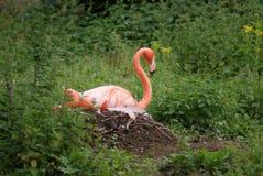 Nesting American Flamingo - Phoenicopterus ruber Stock Image