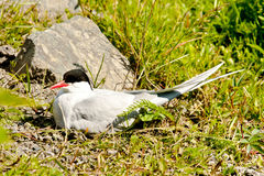 Nesting Arctic Tern Royalty Free Stock Image