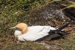 Nesting australasian gannet Stock Images